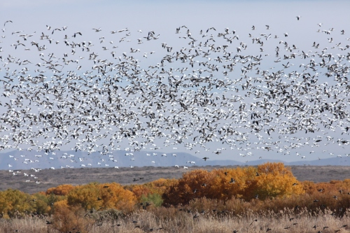 Snow Geese at Bosque del Apache National Wildlife Refuge, New Mexico