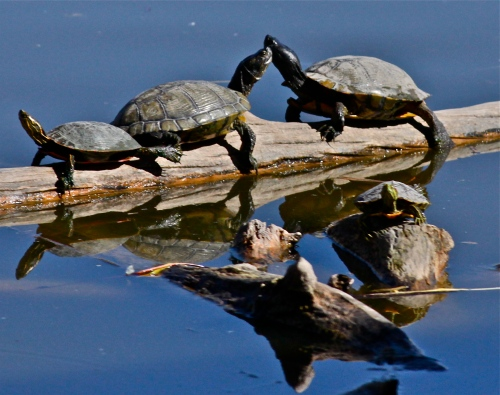 Painted Turtles and Red-eared Sliders