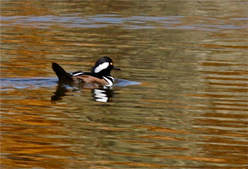 Male Hooded Merganser at the Visitor Center pond, Rio Grande Nature Center, Albuquerque, New Mexico.