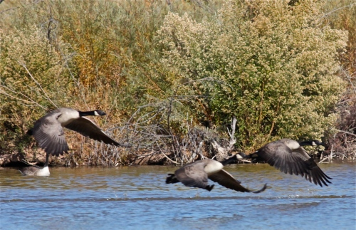 Canada Geese, Candelaria Wetlands pond, Rio Grande Nature Center.
