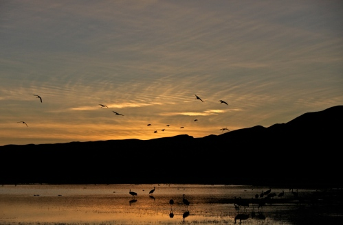 Sandhill Cranes and Snow Geese fly in at sunset.
