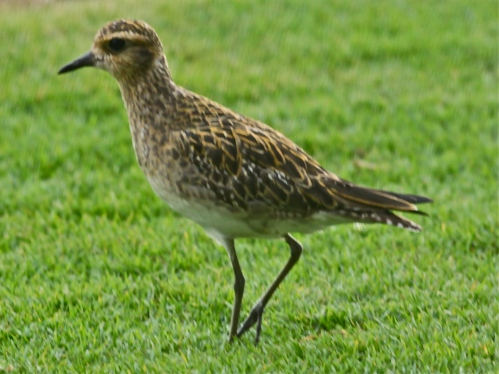 Pacific Golden Plover, Kolea (Pluvialis fulva), native non-breeding visitor.