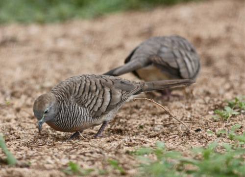 Zebra Doves (Geopilia striata), introduced in the 1920's, native to Southeast Asia.
