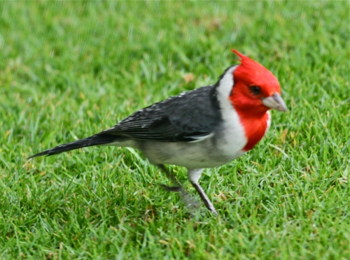 Red-crested Cardinal (Paroaria coronata), introduced in the late 1920's, native to South America.