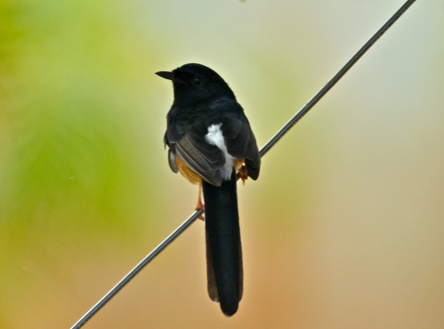 White-rumped Shama (Copsychus malabaricus), introduced in 1931, native to Southeast Asia.