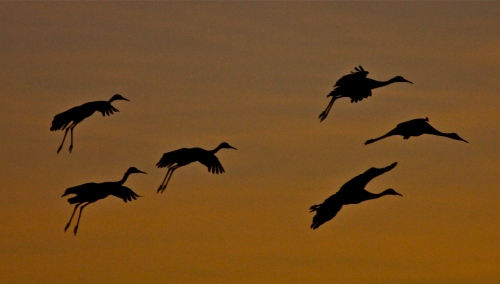 Sandhill Crane silhouettes at Bosque del Apache National Wildlife Refuge.