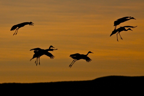 Sandhill Cranes fly in at sunset.