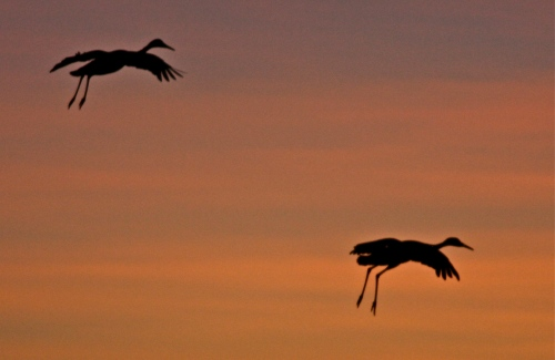Sandhill Cranes at sunset, Bosque del Apache National Wildlife Refuge, New Mexico.