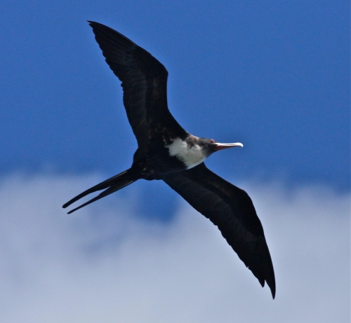 Great Frigatebird, 'Iwa (Fregata minor), native seabird.