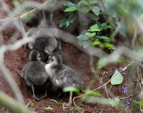 Nene chicks, Kilauea National Wildlife Refuge, Kauai, Hawaii.