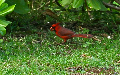 Northern Cardinal (Cardinalis Cardinalis), introduced in the late 1920's, native to North America.