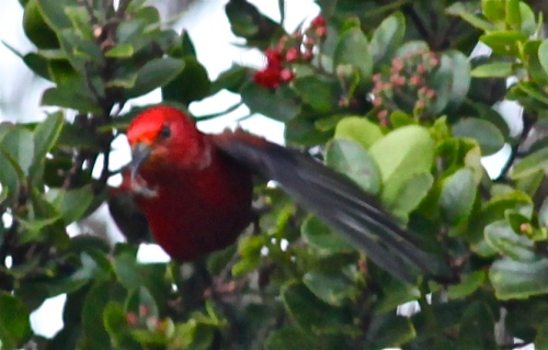 'Apapane (Himatione sanguinea), native Hawai'ian bird, endemic.