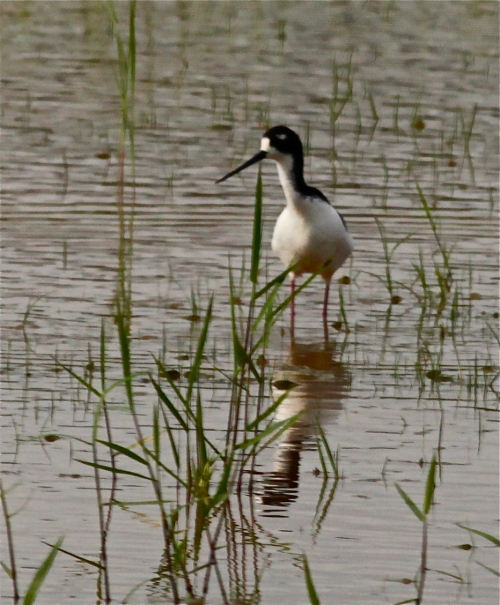 Black-necked Stilt, Hawai'ian Stilt, Ae'o (Himantopus knudseni), native Hawaiian endemic.