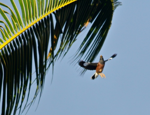 Common Myna (Acridotheres tristis), introduced in 1865, native to India.