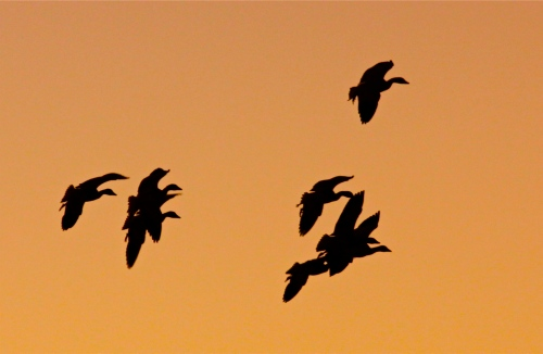 Snow Geese at sunset, Bosque del Apache National Wildlife Refuge, New Mexico.
