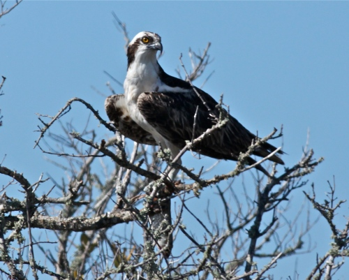 Osprey with fish, Merritt Island National Wildlife Refuge.