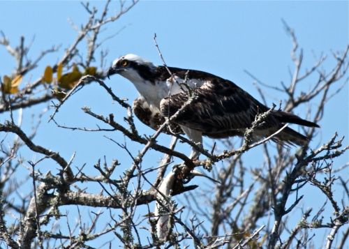 Osprey, Merritt Island National Wildlife Refuge.