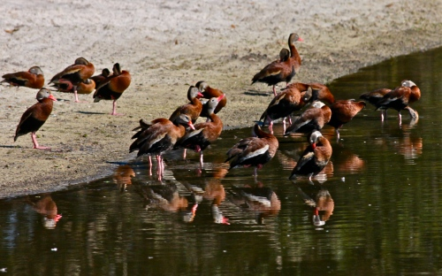 Raft of Black-bellied Whistling Ducks