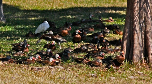 Black-bellied Whistling Ducks sleeping under a tree in a neighborhood yard.