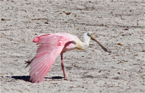 Roseate Spoonbill prepares for flight.