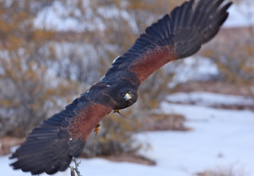 Harris Hawk flying toward us.