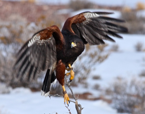 Harris Hawk taking off.