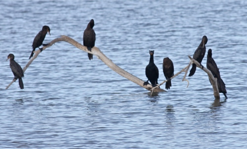 Neotropic and Double-crested Cormorants