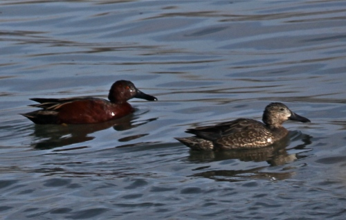 Male and female Cinnamon Teal