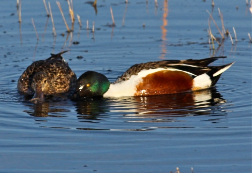 Male and female Northern Shovelers