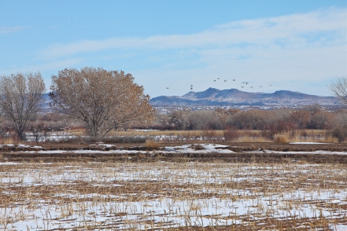 Sandhill Cranes & Snow Geese at Bosque del Apache National Wildlife Refuge.