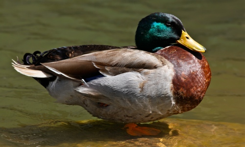 Handsome male Mallard