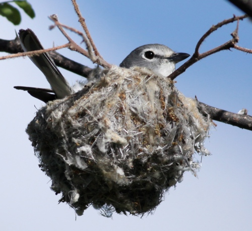 Plumbeous Vireo on her nest.