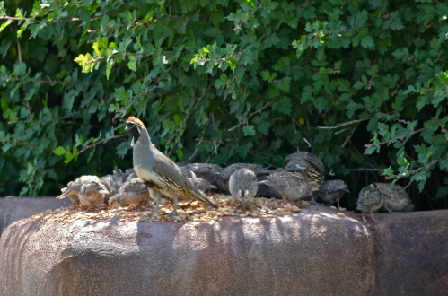 Gambel's Quail adults and chicks