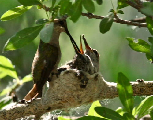 Black-chinned Hummingbird Mom and chicks, Rio Grande Nature Center.