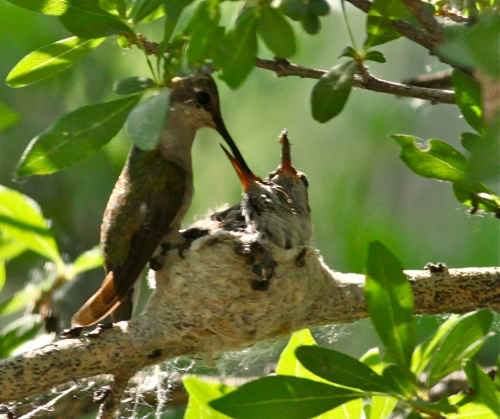 Black-chinned Hummingbird Mom and chicks, Rio Grande Nature Center,.