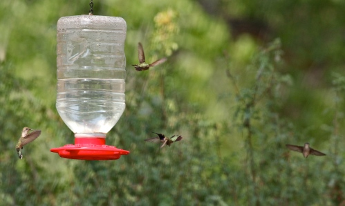 Black-chinned Hummingbirds, Rio Grande Nature Center