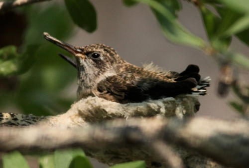 Black-chinned Hummingbird chicks, Rio Grande Nature Center.