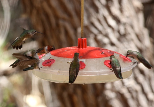 Black-chinned Hummingbirds, Rufous Hummingbird.