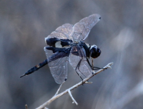 Black Saddlebags (Tramea lacerata)