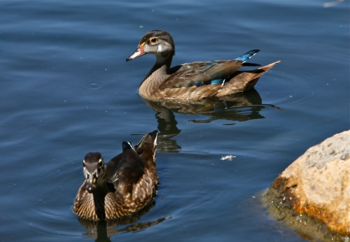Male and female juvenile wood ducks