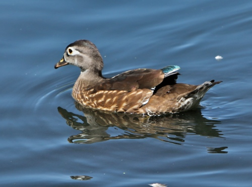 Juvenile female Wood Duck