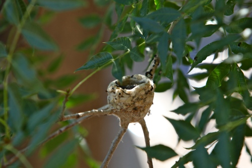 Black-chinned Hummingbird nest, Los Ranchos de Albuquerque