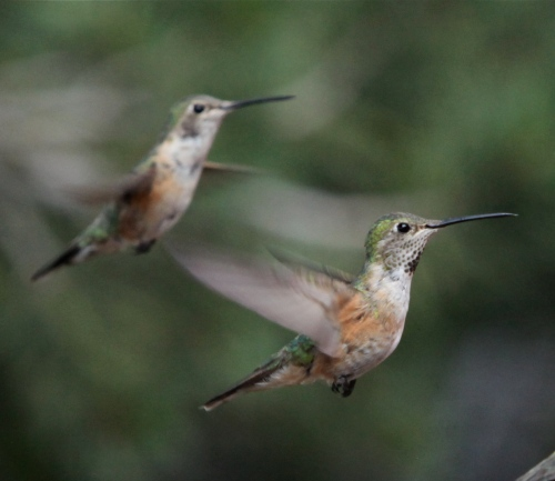 Female Rufous Hummingbird, Sandia Crest, New Mexico.