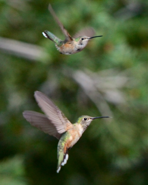 Female Rufous Hummingbirds, Sandia Crest, New Mexico.