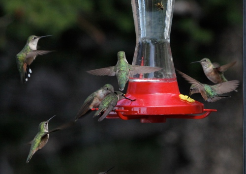 Female Broad-tailed and Rufous Hummingbirds, Sandia Crest, New Mexico.