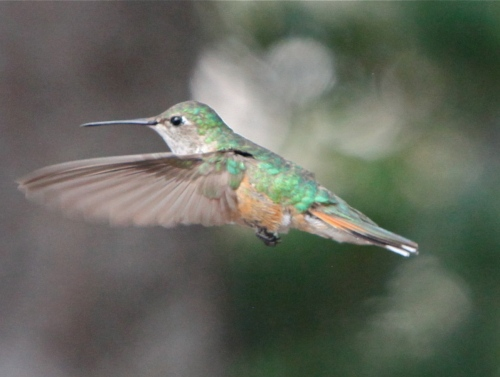 Female Broad-tailed Hummingbird, Sandia Crest, New Mexico.