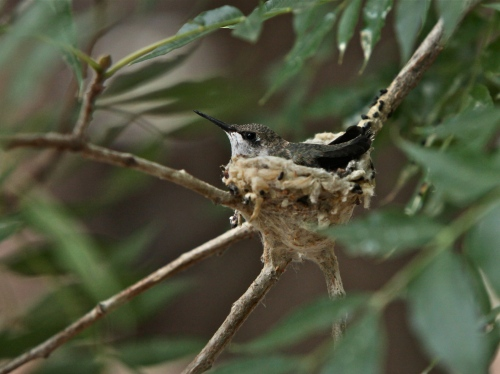 Black-chinned Hummingbird chick