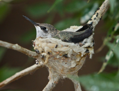 Black-chinned Hummingbird chick, a closer view.