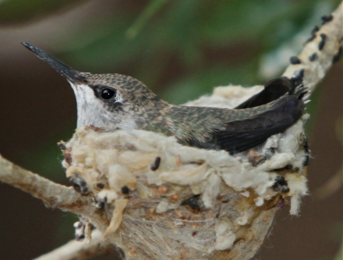 Black-chinned Hummingbird chick, even closer.