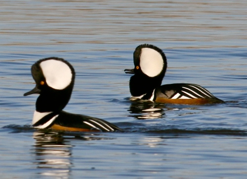 Male Hooded Mergansers, New Mexico bird photography, Rio Grande Nature Center, Albuquerque New Mexico birds